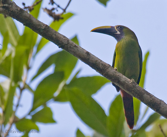 Blue-throated Toucanet, Aulacorhynchus caeruleogularis