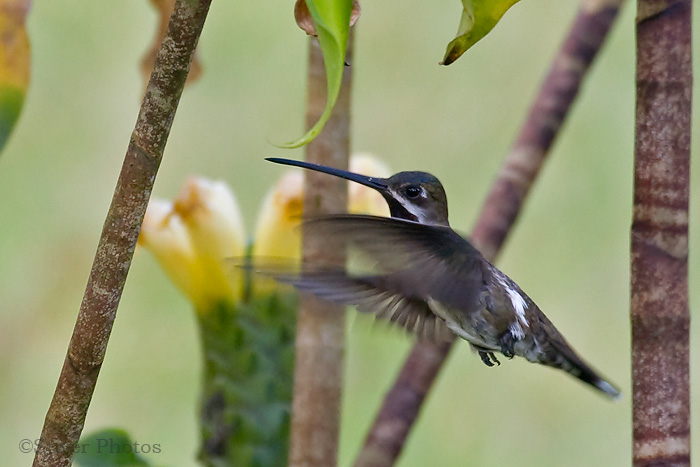 Long-billed Starthroat, Heliomaster longirostris