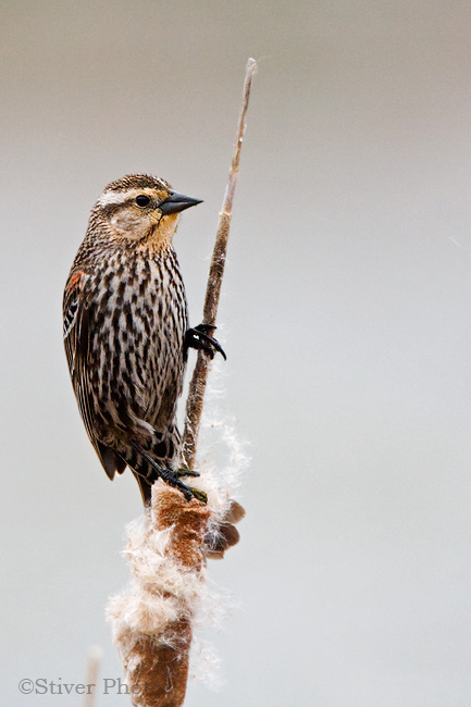 Female Red-winged Blackbird