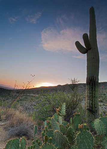 Sugarro Cactus at Sunset