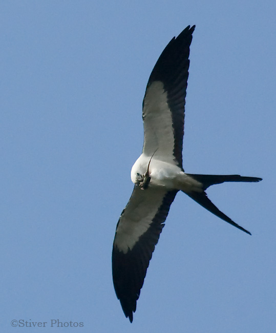 Swallow-tailed Kite with Gecko