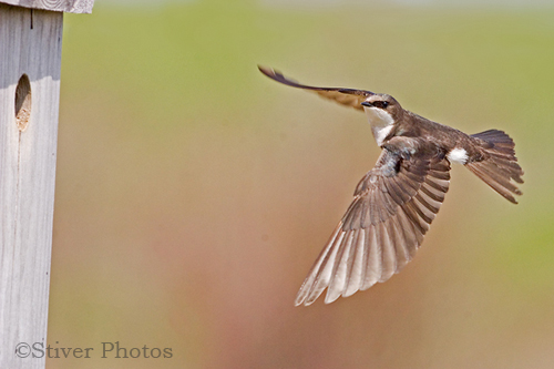 Photographing Swallows in flight