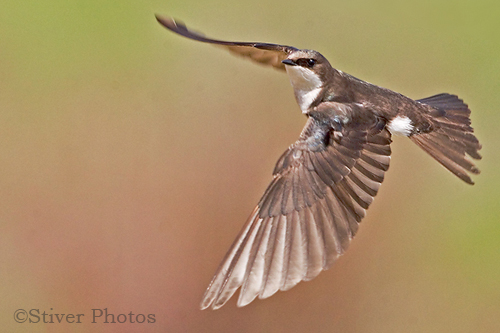A Tree Swallow in Flight