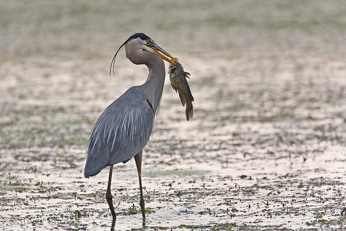 Great Blue Heron with a catfish