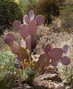 Santa Rita Prickley Pear