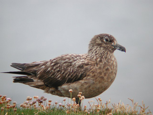 Greater Skua