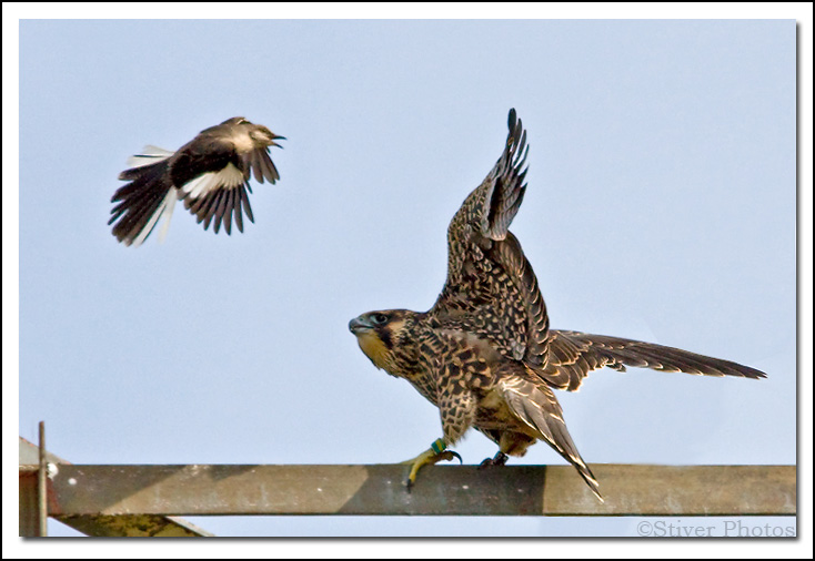 Young Peregrine harassed by Mockingbirds