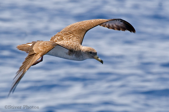 Cory's Shearwater , Calonectris diomedea
