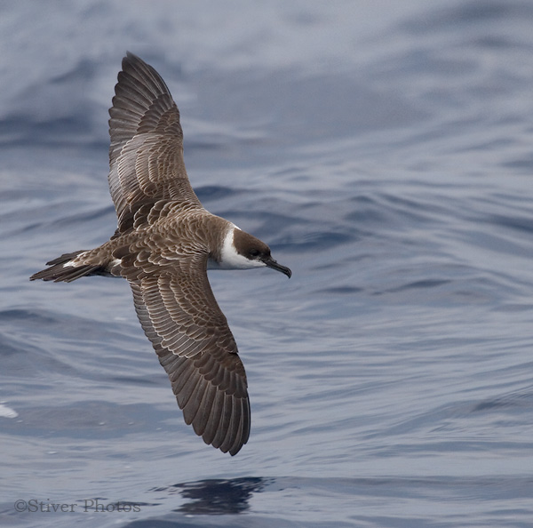 Greater Shearwater, Puffinus gravis