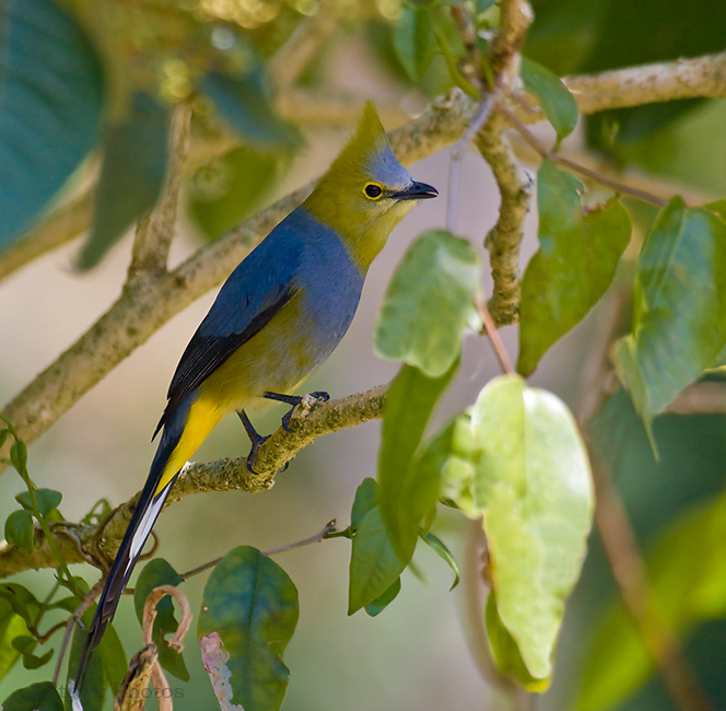 Long-tailed Silky Flycatcher, Ptilogonys caudatus