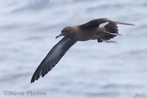 Sooty Shearwater, Puffinus griseus