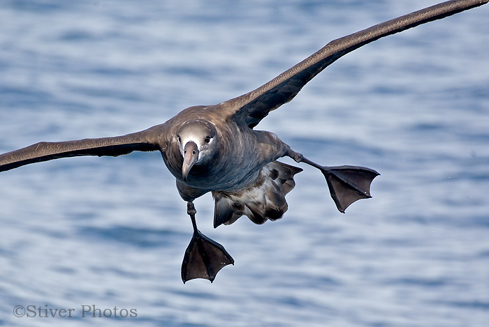 Black-footed ALBATROSS, Phoebastria nigripes: Oregon Pelagic | Nature ...