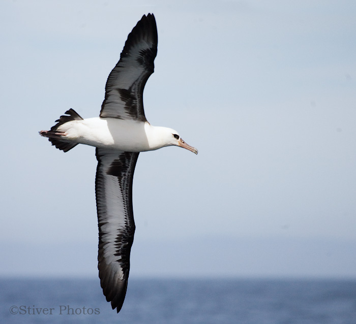 The Laysan ALBATROSS, Phoebastria immutabilis, is an uncommon and ...