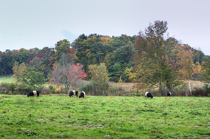 Belted Galloway, Maine