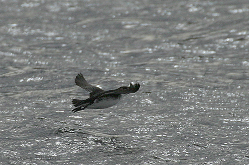 Common Diving-Petrel, Pelecanoides urinatrix