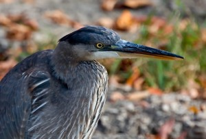 Immature Great Blue Heron, Ardea herodias