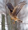 Northern Harrier, Hen Harrier, Circus cyaneus