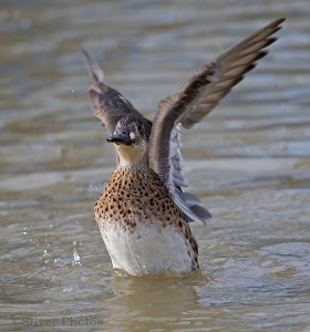 Female Baikal Teal