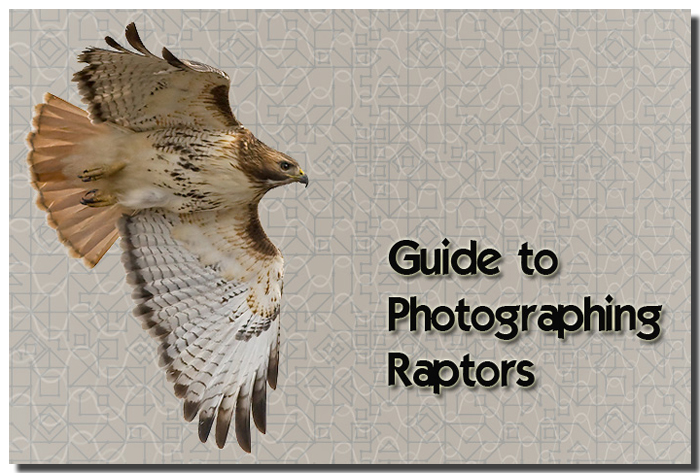 Guide to Photographing Raptors