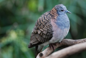 Bar-shouldered Dove, Creative Commons License