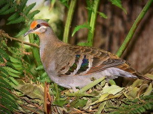 Brush Bronzewing, Creative Commons License