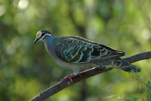 Common Bronzewing-Creative Commons License