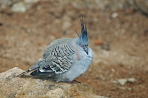 Crested Pigeon, Geophaps lophotes