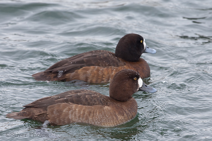 Greater Scaup female-plumage variance
