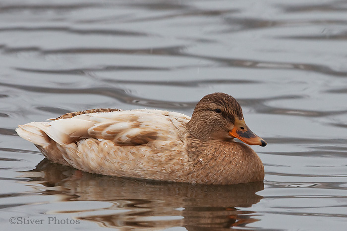 Cream-colored female Mallard