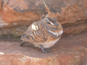 Spinifex Pigeon, Creative Commons License