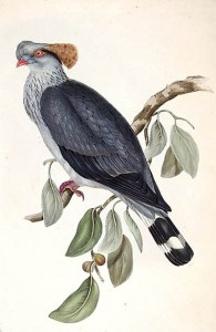 Top-Knot Pigeon, Art by Elizabeth Gould (Public Domain)