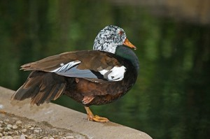 White-winged Duck