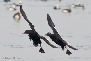 White-winged Scoter male, Melanitta deglandi