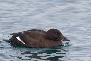 White-winged Scoter female, Melanitta deglandi