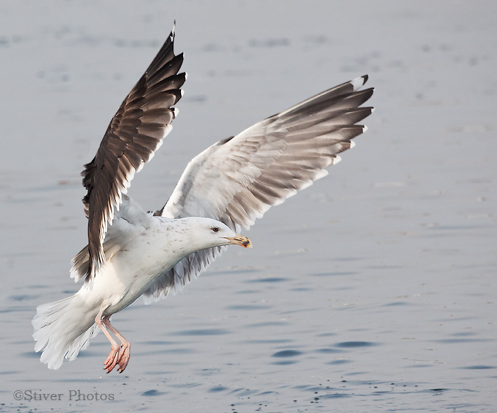 Great Black-backed Gull- 3rd Winter