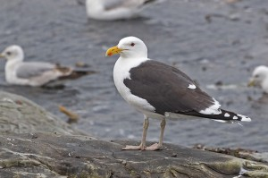 Great Black-backed Gull- Adult