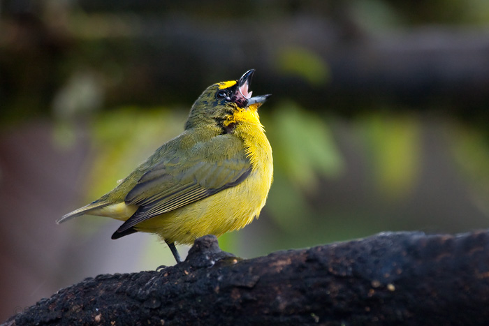 Molting Thick-billed Euphonia