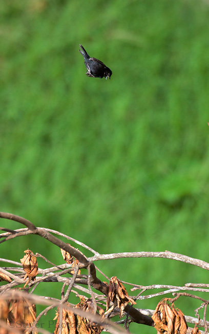 Displaying male Blue-Black Grassquit