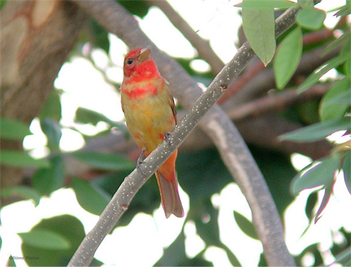 Molting juvenile Summer Tanager
