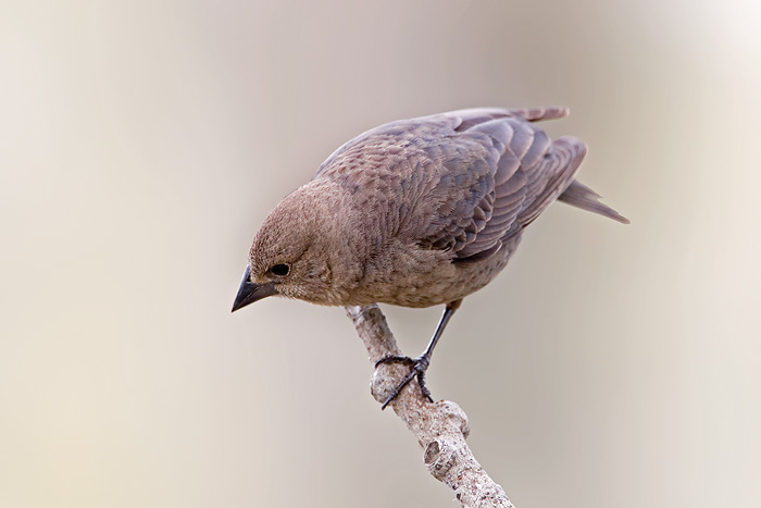 Brown-headed Cowbird female
