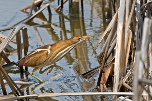 Least Bittern female