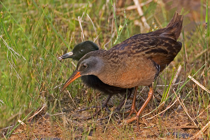 Virginia Rail, Rallus limicola