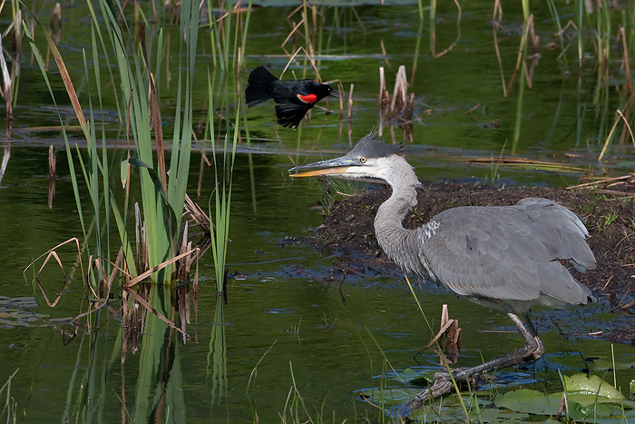 Great Blue Heron and Red-winged Blackbird