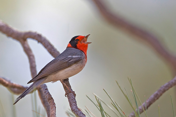 Red-faced Warbler, Cardellina rubrifrons
