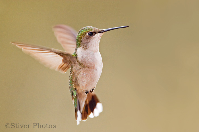 Ruby-throated Hummingbird, Archilochus colubris female